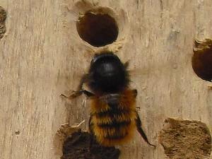 Mauerbiene am Nistgang im Insektenhotel
